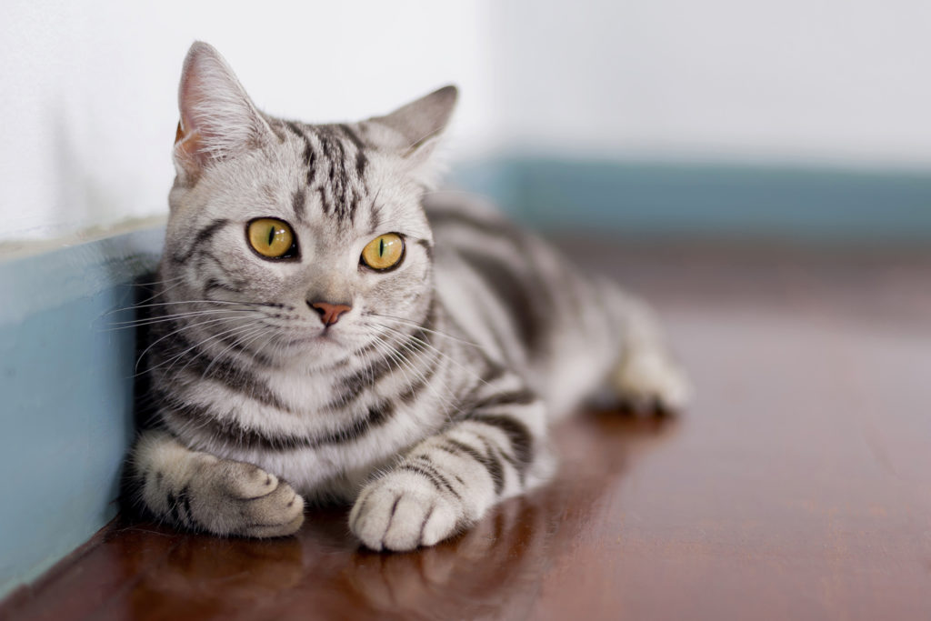 American Shorthair Cat Cost