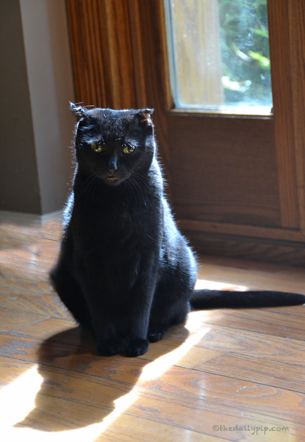 Rosie, the rescued black cat, admires her shadow