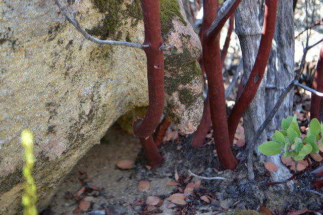 manzanita in the rocks
