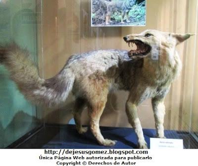 Foto del Zorro Colorado disecado del Museo de Historia Natural. Foto de un zorro tomada por Jesus Gómez
