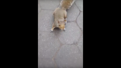 Shy type squirrel