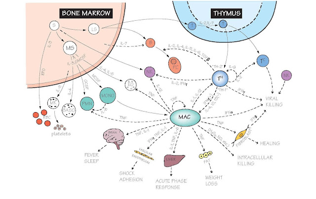 The Cytokine Network, B lymphocytes, Natural killer, Microbial killing, Inflammation, Leucocyte migration, Cytokines in therapy