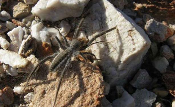 Dünyanın En Tehlikeli  ve Büyük 10 Zehirli Örümceği - Deve Örümceği