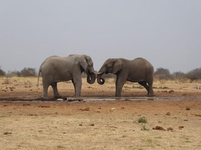 elefanti all'Etosha