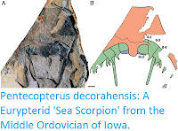 http://sciencythoughts.blogspot.co.uk/2015/11/pentecopterus-decorahensis-eurypterid.html