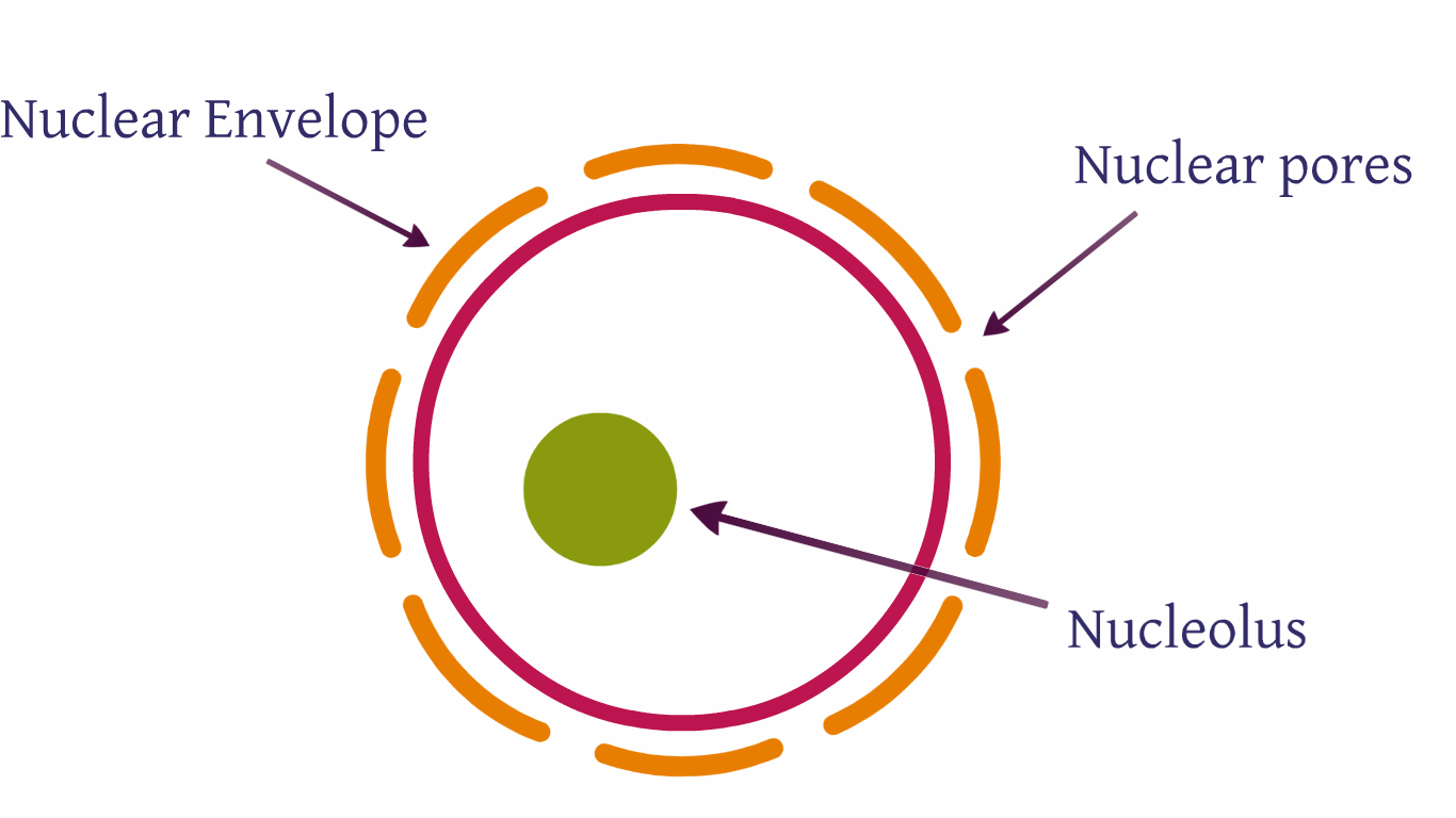 hight resolution of organelles the nucleus