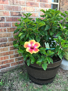 Hibiscus in whiskey barrel