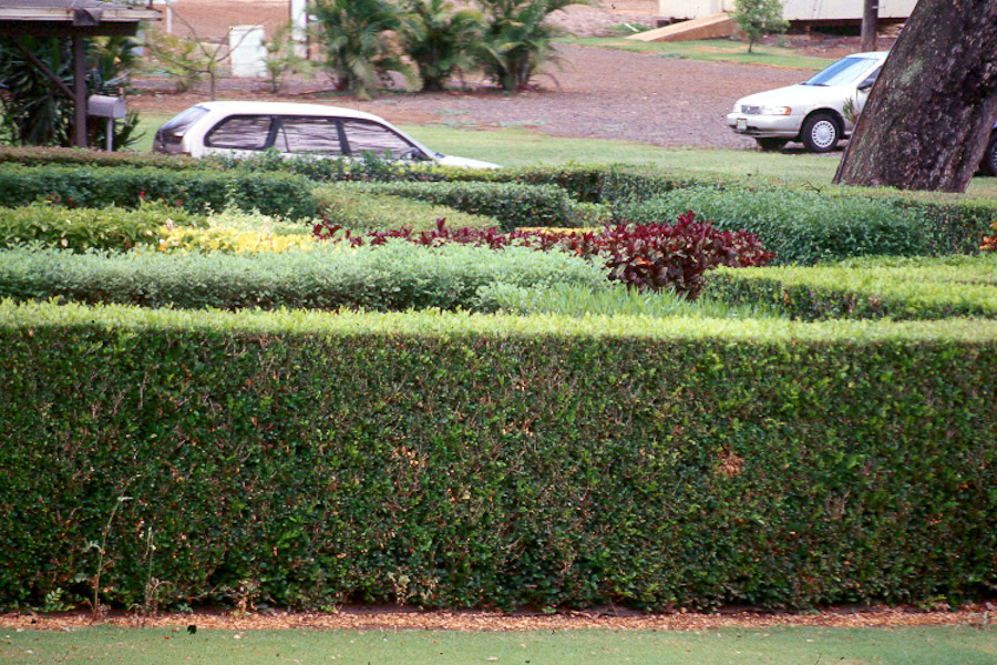 Hawaii Horticulture Hedges In Hawaii S Landscapes Part 2