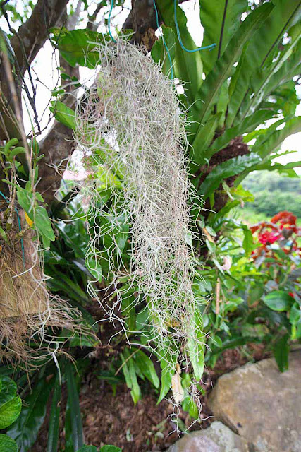 Old Man's Beard, lichen, tree