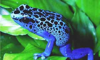 katak warna ccerah beracun