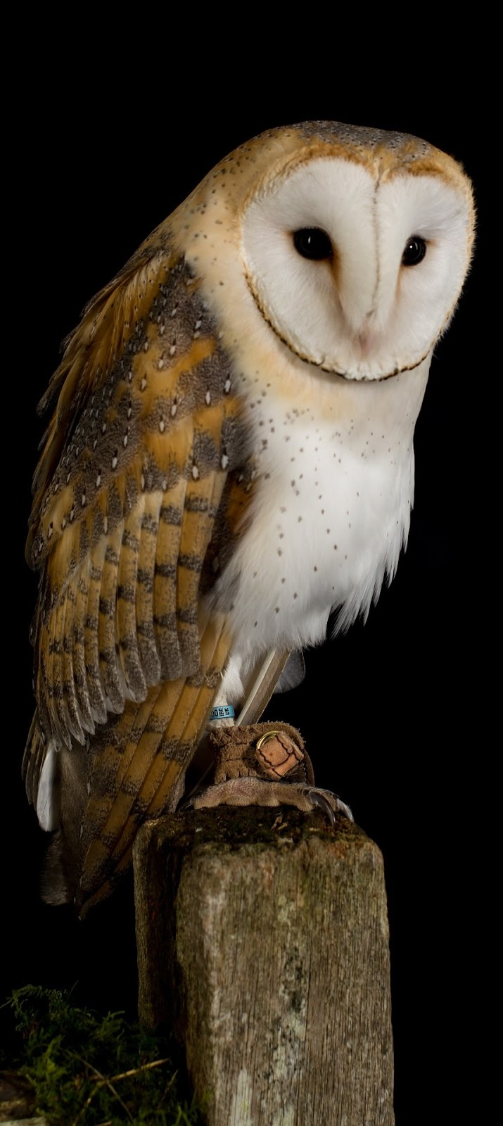 Facts About Barn Owls - BARN