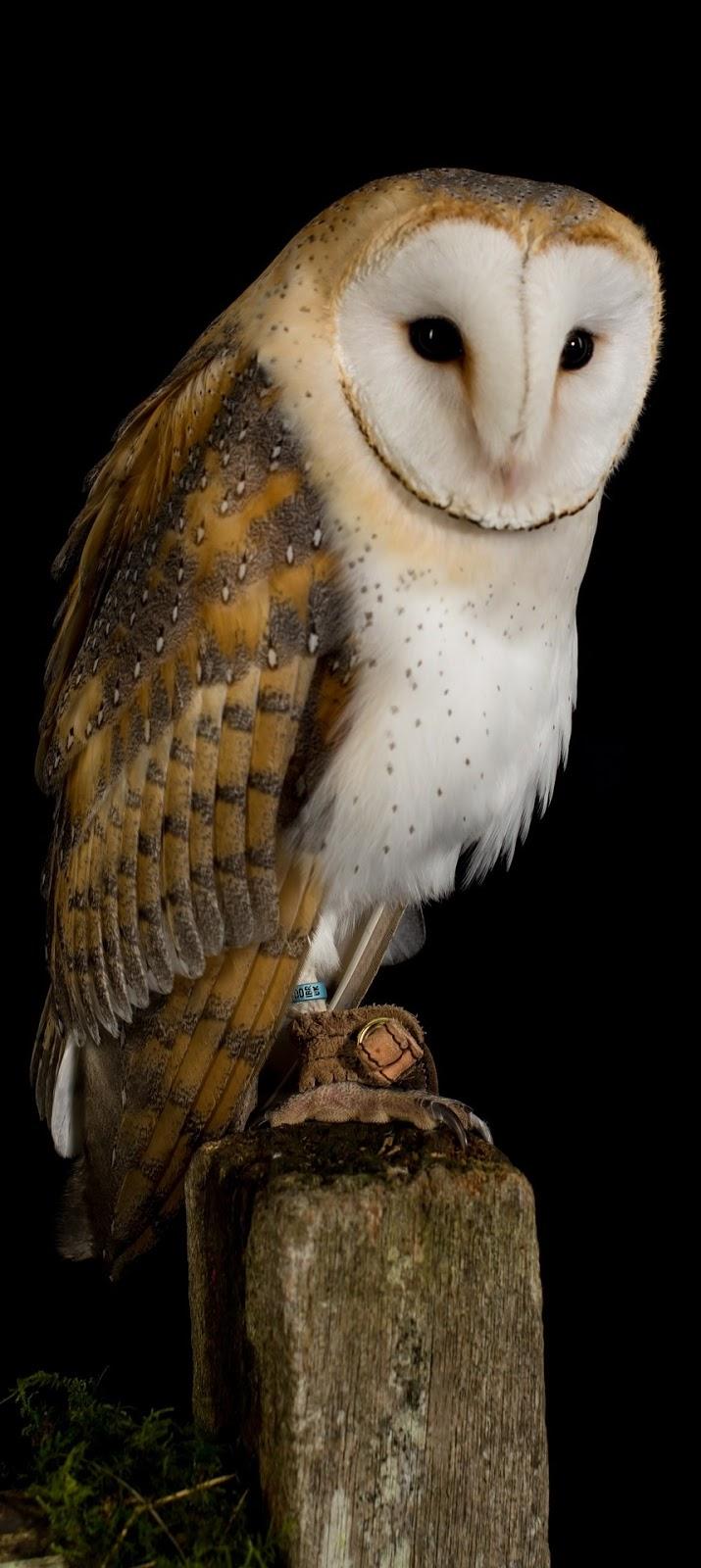 A barn owl.