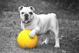 bulldog and ball