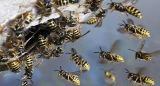 Superstitii despre viespi