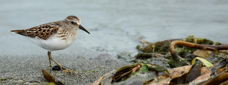 a sandpiper on the beach at Esquimalt Lagoon