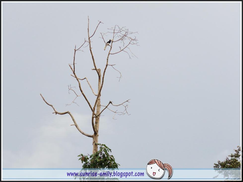 Kinabatangan river cruising hornbills