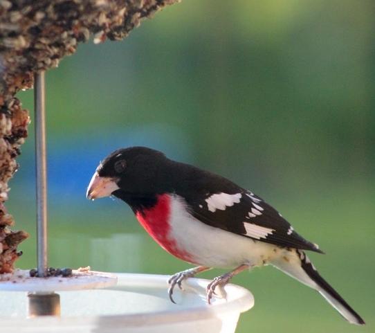 Wild Birds Unlimited: Strange Birds At Your Feeders
