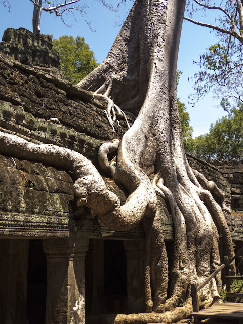 Tree embedded in the temple at Ta Prohm in Cambodia