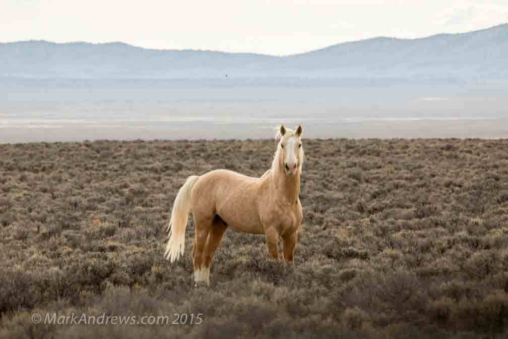 Mustangs - wild horses in Nevada  Freedom | Mark Andrews