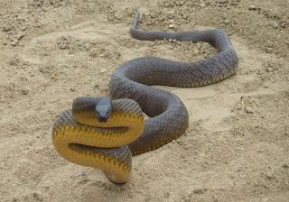 Dünyanın En Zehirli Yılanı - Taypan
