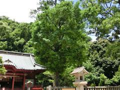 伊豆山神社ナギの木