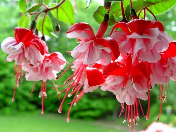 hoa long den y nghia