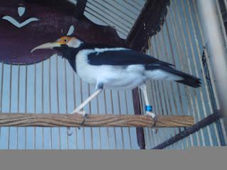 Foto Burung Jalak Suren