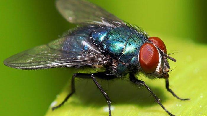 Fakta Mencengangkan di Balik Cara Lalat Makan