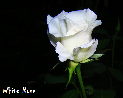 Bunga Mawar Putih White Rose Photos Alam Mentari
