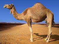 Tek hörgüçlü hecin devesi türü