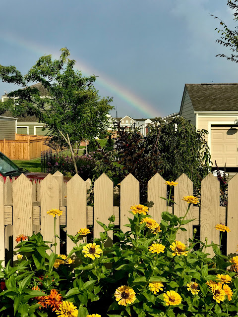 rainbow over yellow flowers with a fence