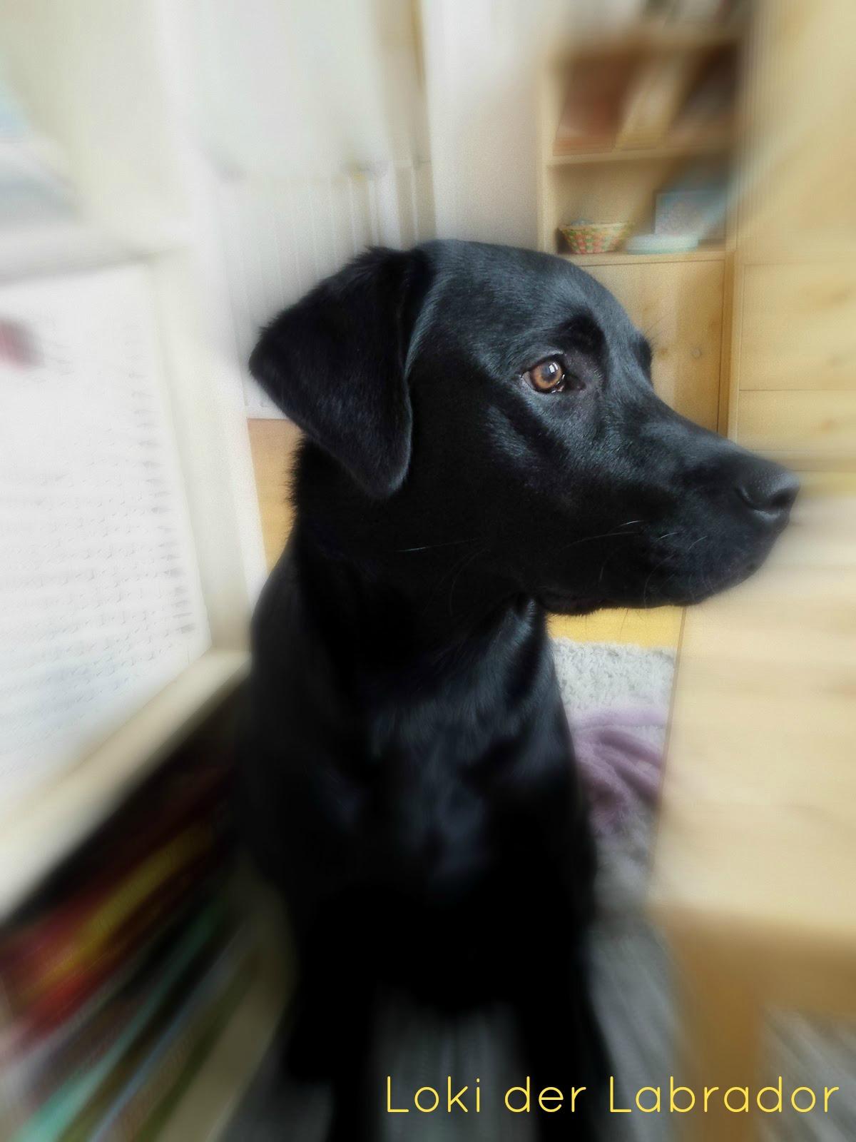 Labrador Loki im Wohnzimmer