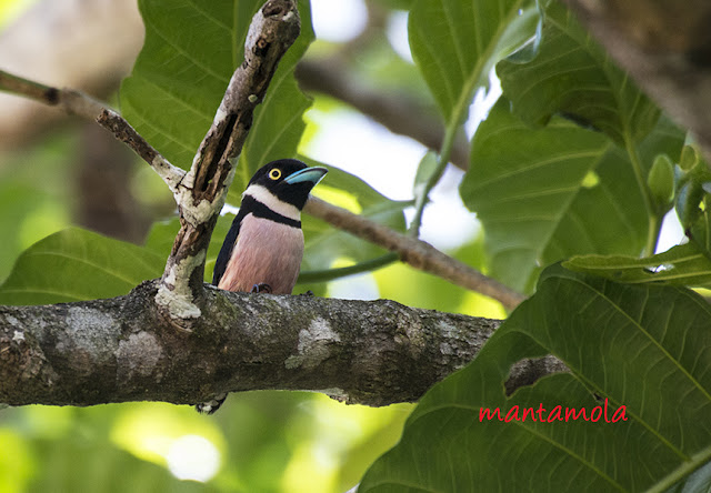 black-and-yellow broadbill (Eurylaimus ochromalus)