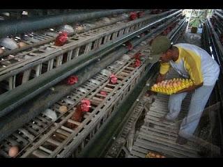 Rincian Modal Usaha Ayam Petelur
