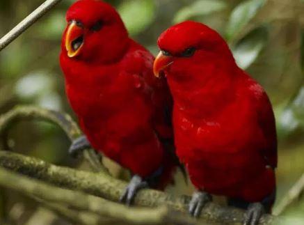 Jenis Lovebird Paling Mahal
