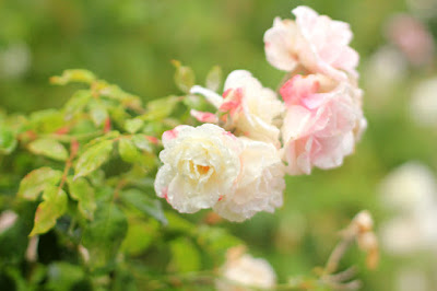 Ivory Roses in the Rain - Flower Photography by Mademoiselle Mermaid.