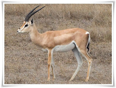 Gazelle [Gazella granti] Facts