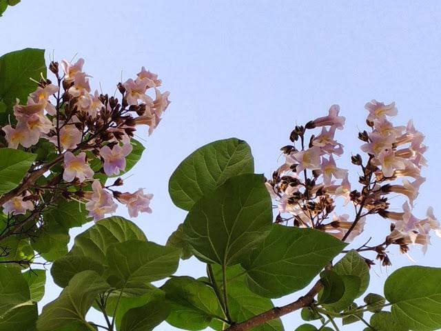 Fiori Paulownia tomentosa
