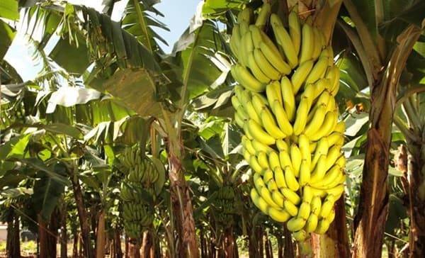 Banana de Corupá é a mais doce do Brasil