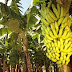 Norte catarinense ganha selo do INPI por produzir a banana mais doce do Brasil