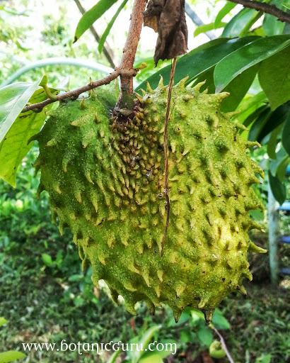 Annona muricata, Soursop, Prickly Custard Apple fruit
