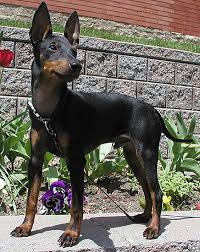 Manchester Terrier dog beautiful look