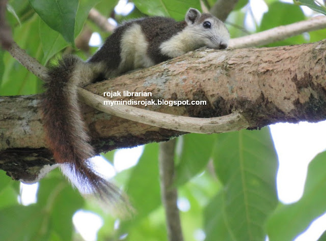 Variable Squirrel in Bidadari