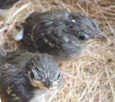 Burung Branjangan - Ciri-Ciri Burung Branjangan yang Sudah Siap Dijodohkan atau Kawin