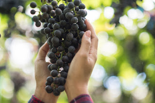 This is the Benefits of Black Grape Fruit which is Good for the Body