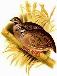 White cheeked Partridge