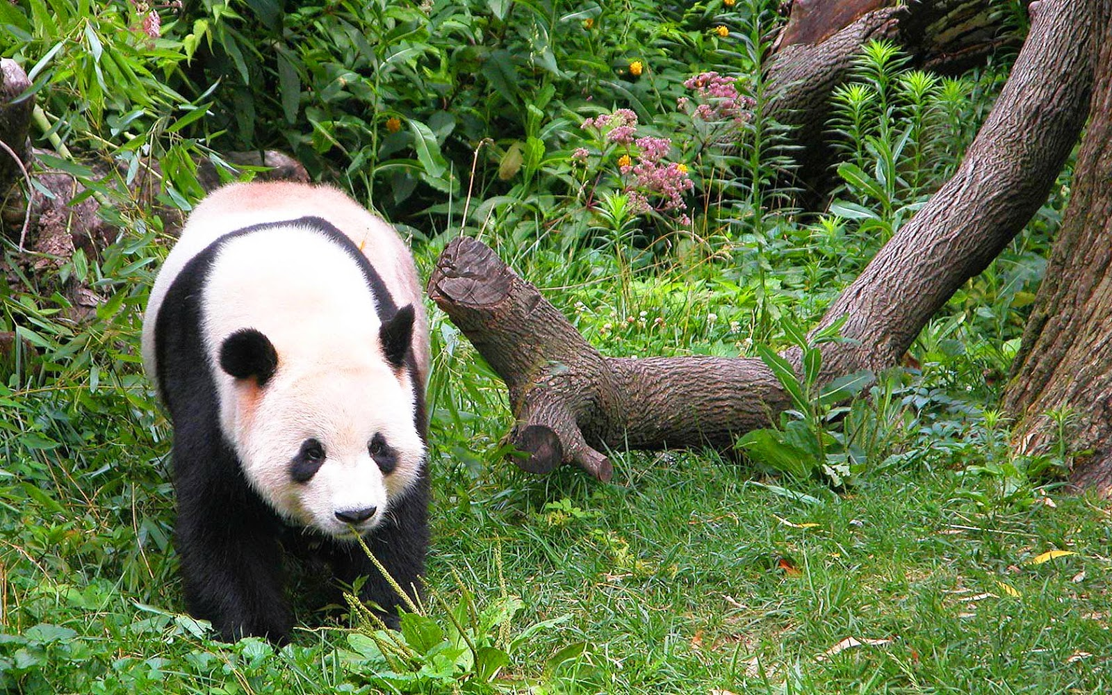 Dieren wallpaper met een leuke lieve pandabeer