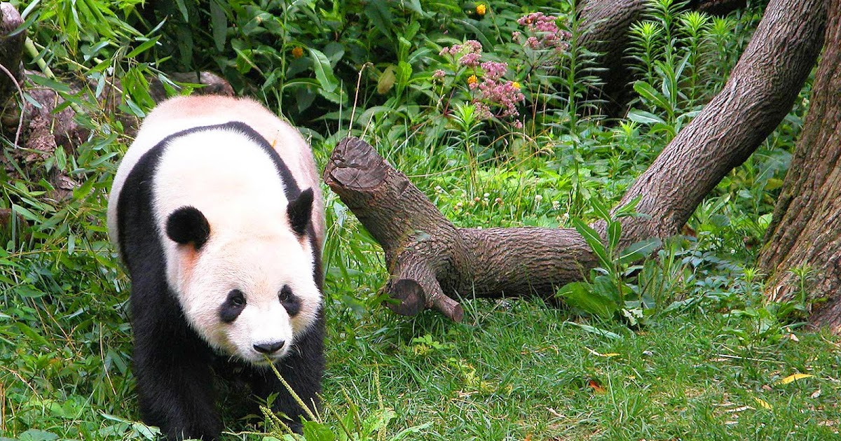 Wallpaper met pandabeer  Mooie Leuke Achtergronden Voor