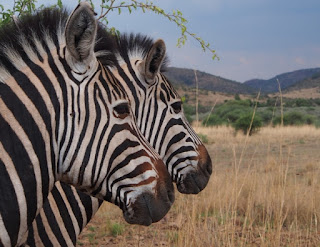 Each zebra has its own unique pattern of distinctive stripes.
