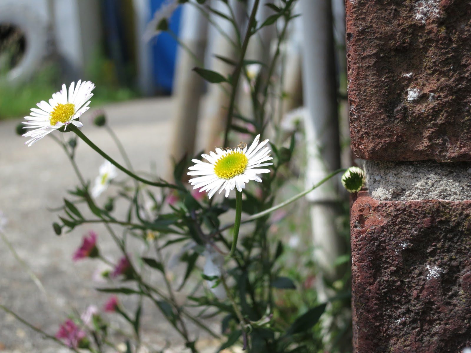 Mexican Fleabane (Erigeron karvinskianus) beside downpipe in garage forecourt